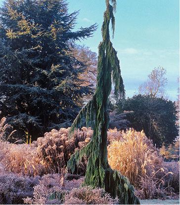 Green Arrow Alaskan Cedar