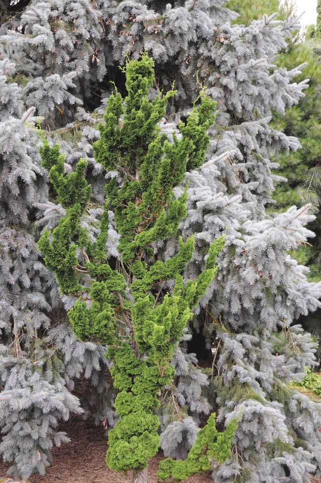 Twisted Hinoki Cypress