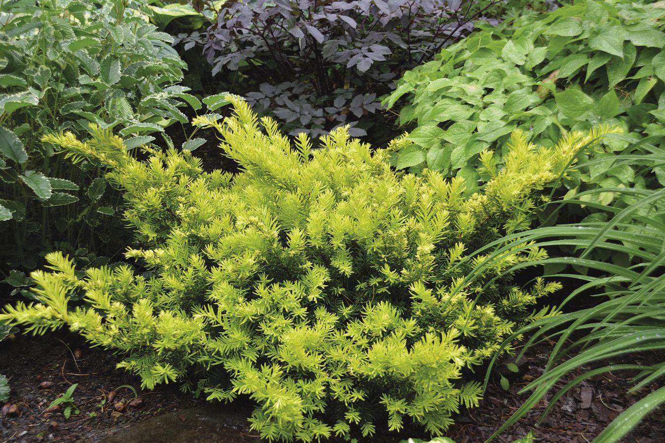 Gold Splash Japanese Plum Yew