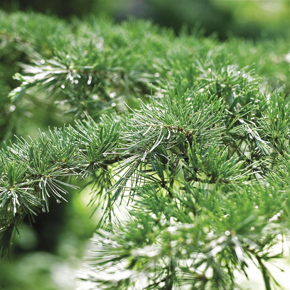 Karl Fuchs Deodar Cedar