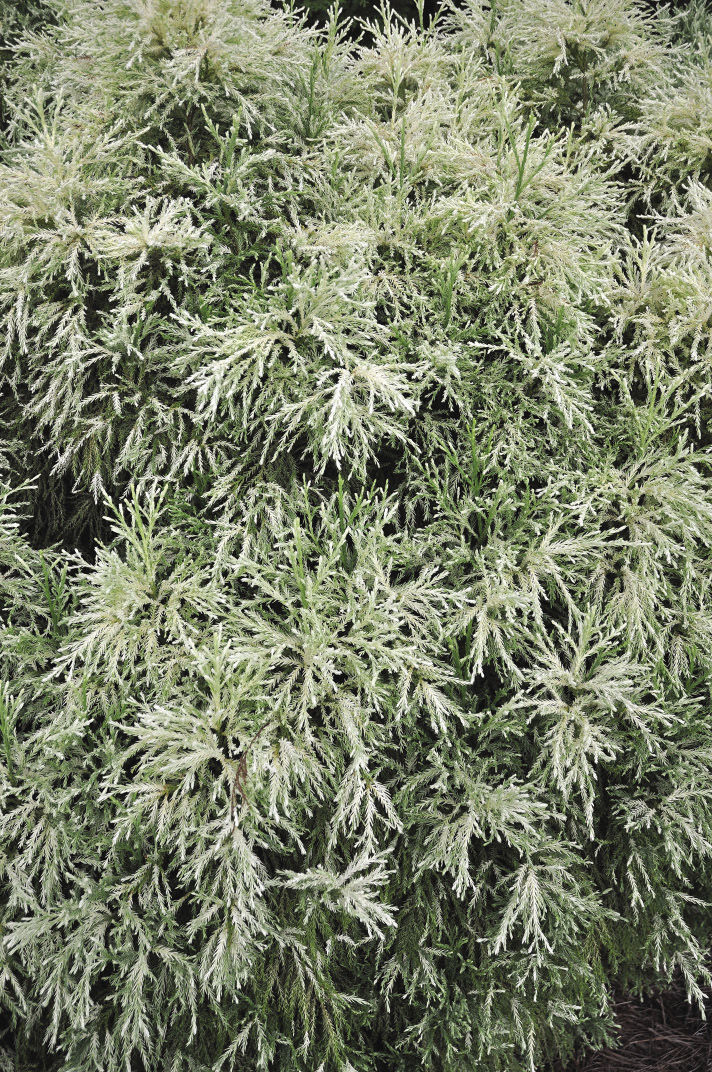White Tip Japanese Cedar