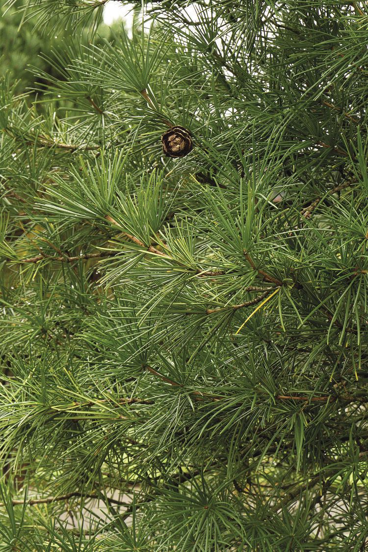 Wintergreen Umbrella Pine