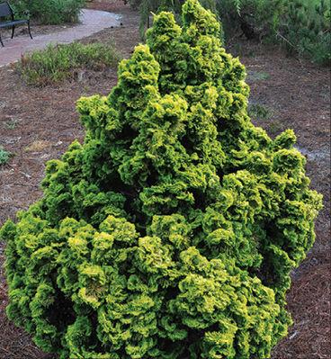 Golden Dwarf Hinoki Cypress