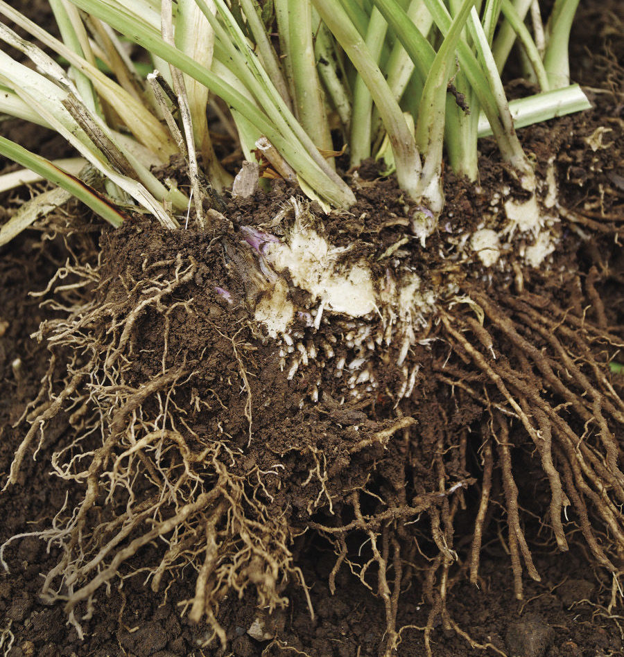 fibrous root systems plant division