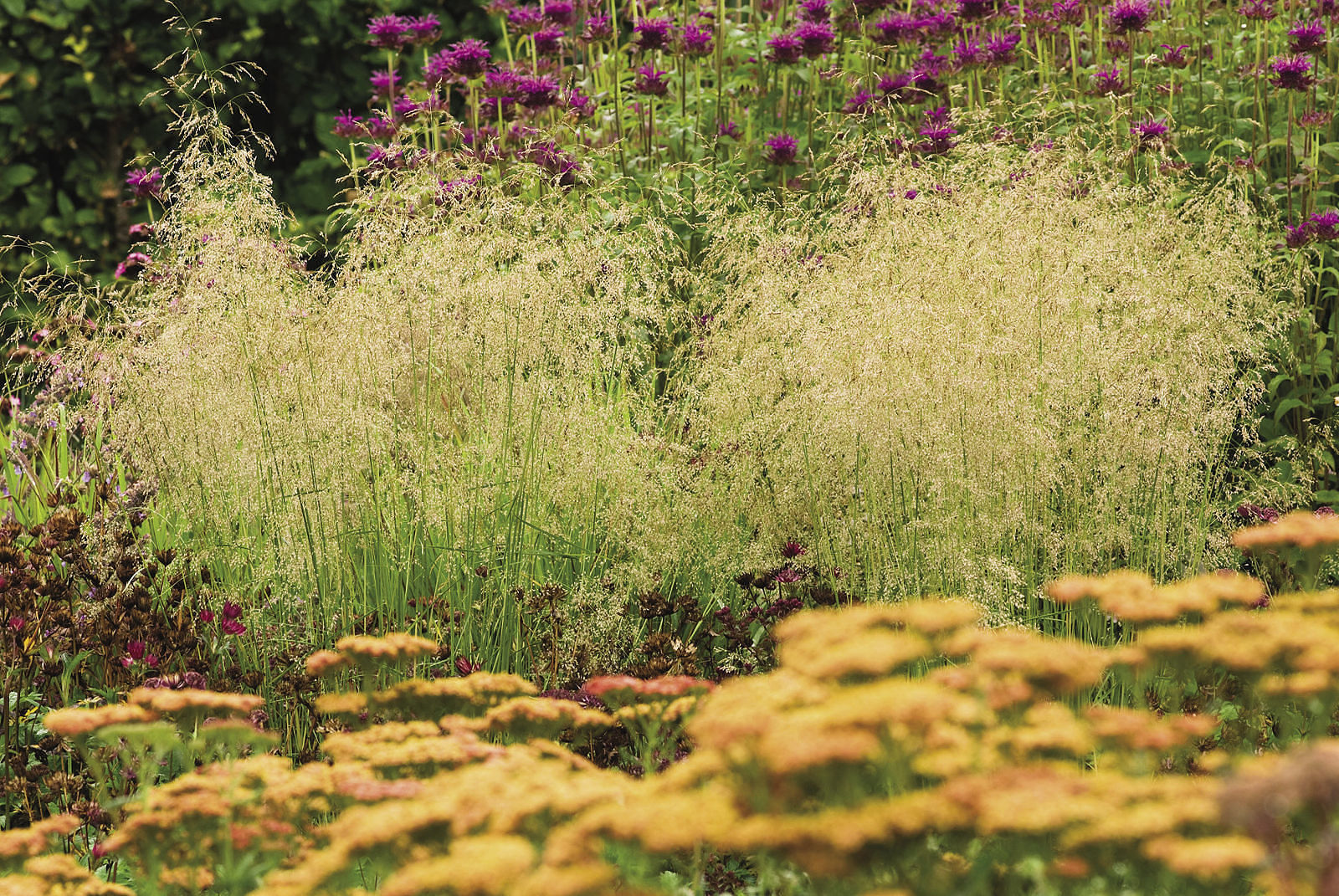 Gold dew tufted hair grass