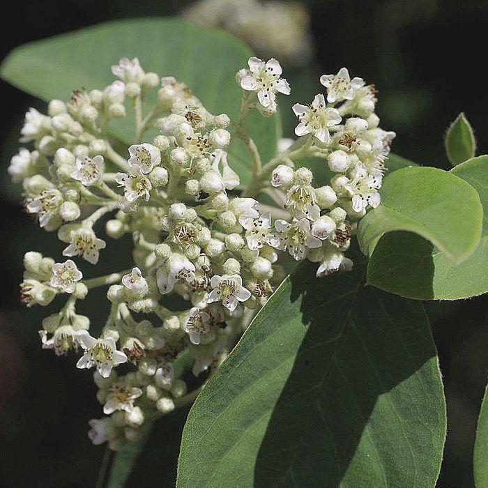 Grey Leaf Cotoneaster