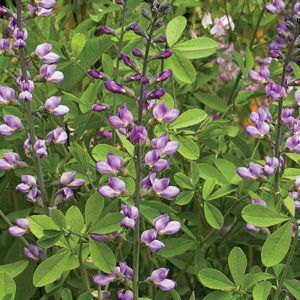 'Purple Smoke' Baptisia