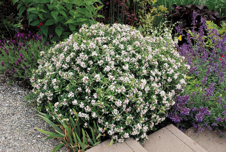 Daphne × transatlantica 'BLAFRA'