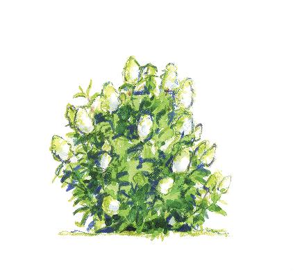 Hydrangea paniculata 'Bombshell' Illustration