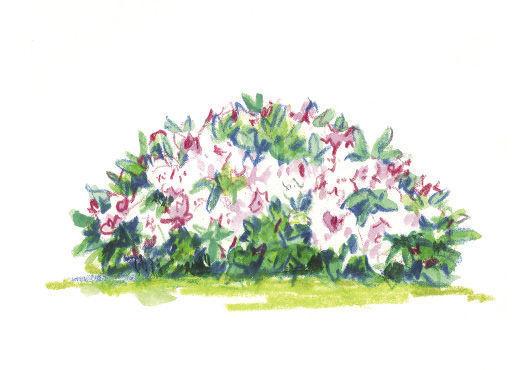 Rhododendron 'Ken Janeck' illustration