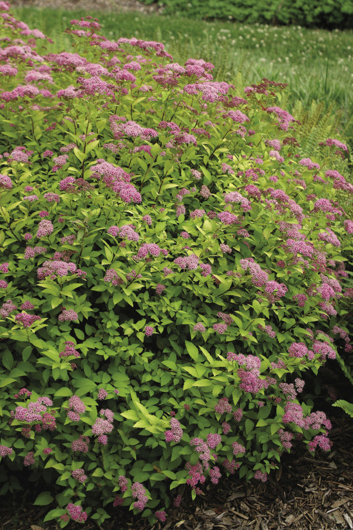 Spiraea japonica* 'Walbuma'