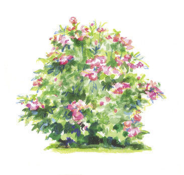 Rosa 'Radcor' illustration