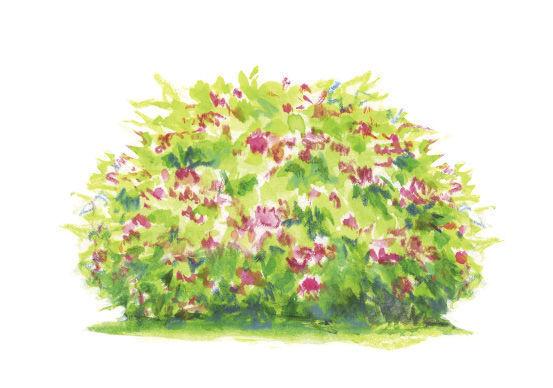 Spiraea japonica* 'Walbuma' illustration