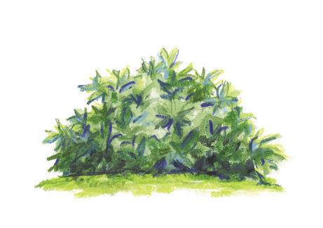 Sarcococca hookeriana var. humilis illustration