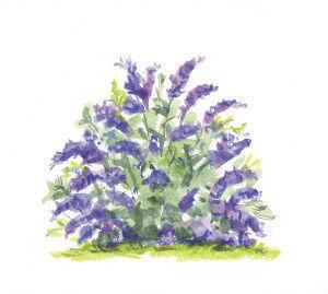 Buddleia 'Lilac Chip' illustration