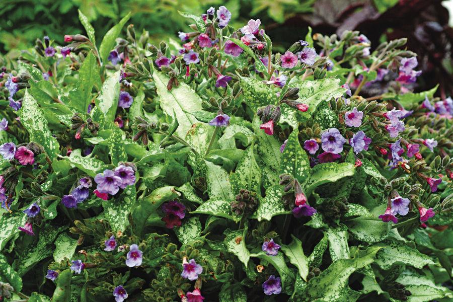 pulmonaria plants