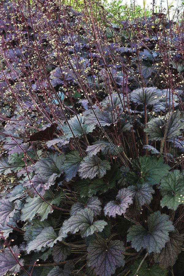 frosted violet best plants