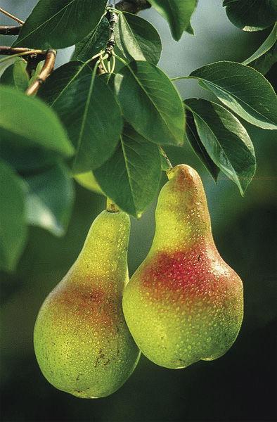 FG152AR_Pears_wikimediacommonsThuresson.tif