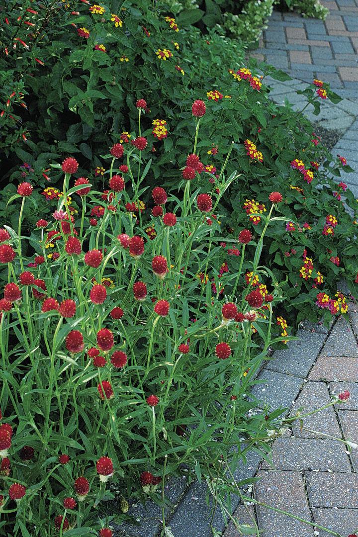 fast-growing globe amaranth