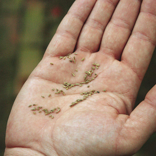 seed in hand