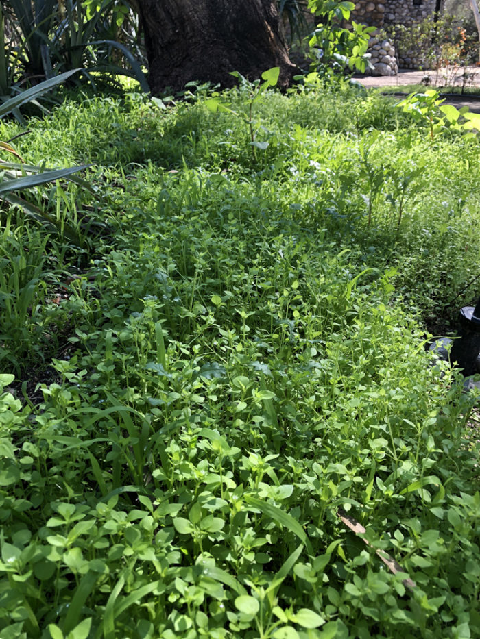grass or weeds for composting