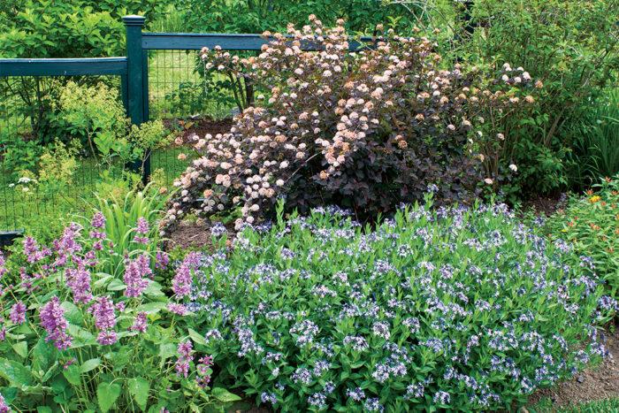 Bluestar: A native plant for the masses