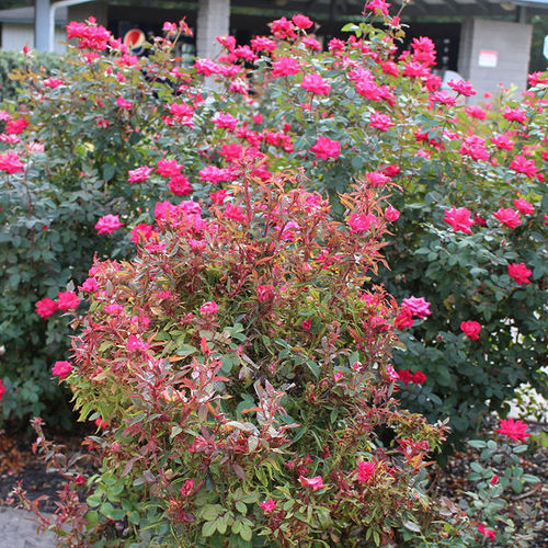 Rose Rosette Disease Should You Abandon Roses Altogether South Regional Report Finegardening