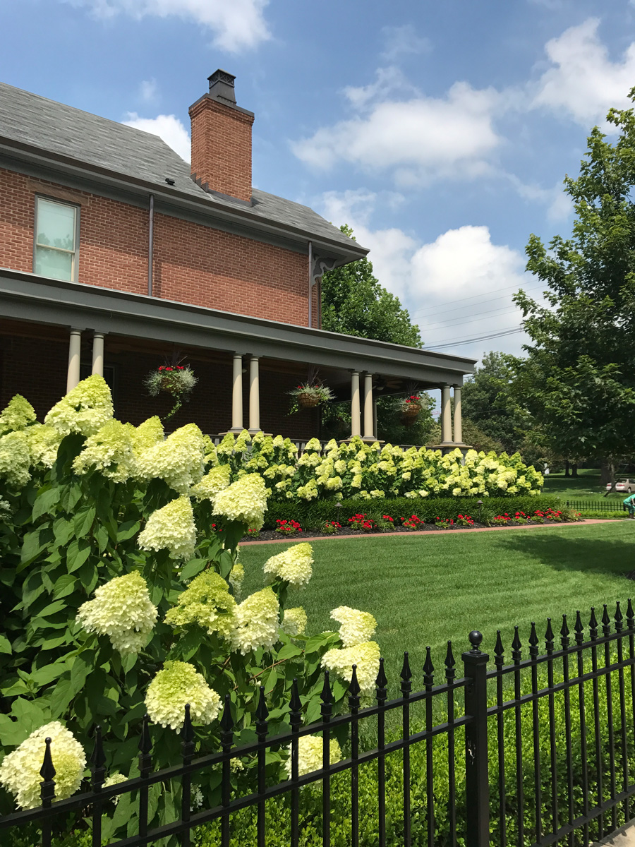 The cheerful blooms of 'Limelight' panicle hydrangeas can be strategically pushed back later in the season with careful pruning.