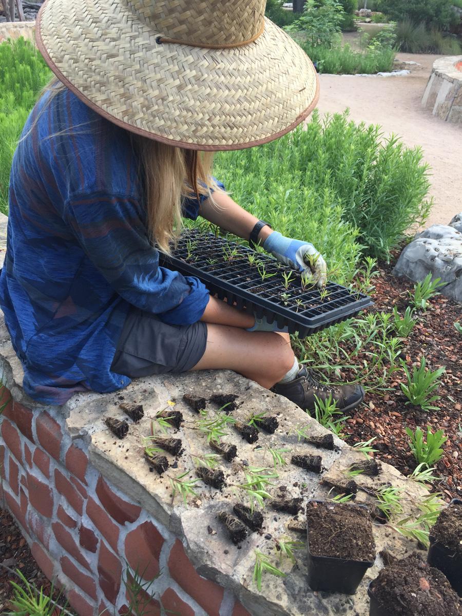 Recently transplanted seedlings