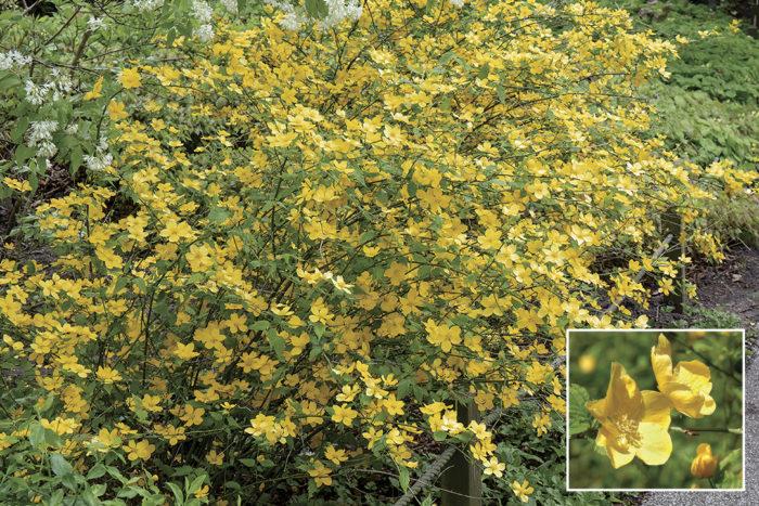 golden guinea japanese kerria shrubs