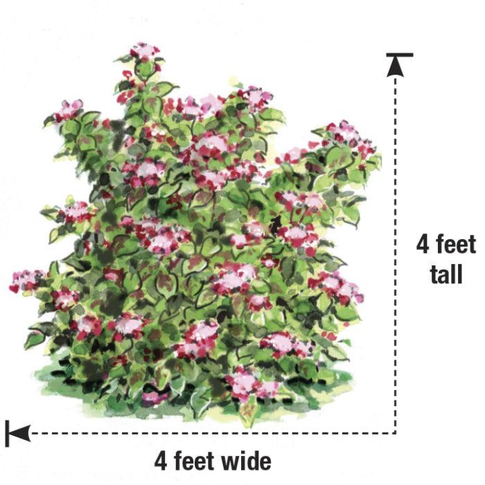 japanese hydrangea size