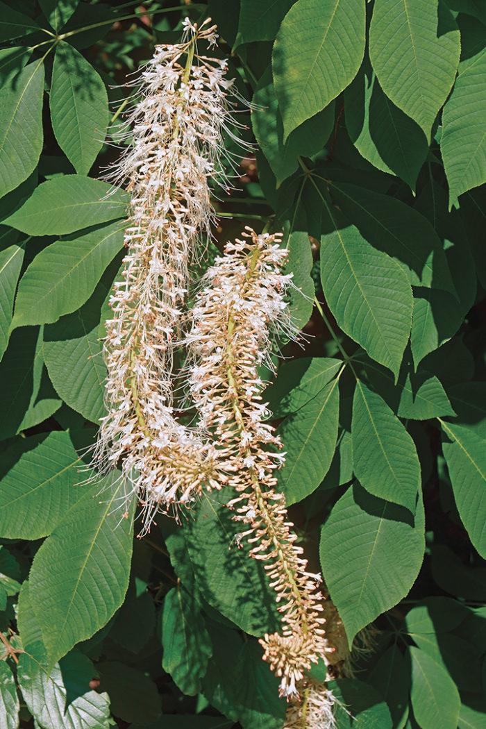 bottlebrush buckeye shrubs for shade