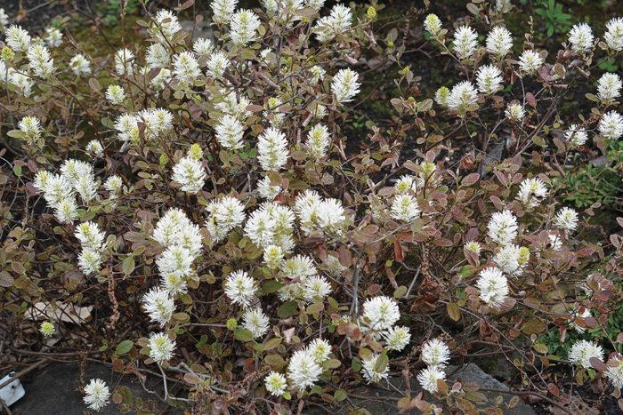 dwarf fothergilla shrubs