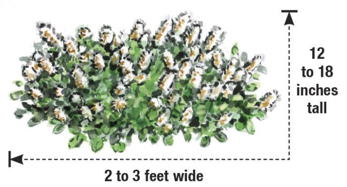 dwarf fothergilla size