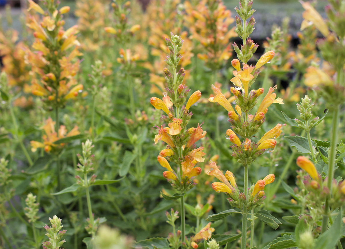 Good candidates for the Chelsea Chop are agastaches, like this Poquito™ dwarf hummingbird mint (Agastache 'Butter Yellow', Zones 5–10)