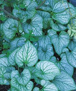 'Jack Frost' brunnera (Brunnera macrophylla 'Jack Frost')