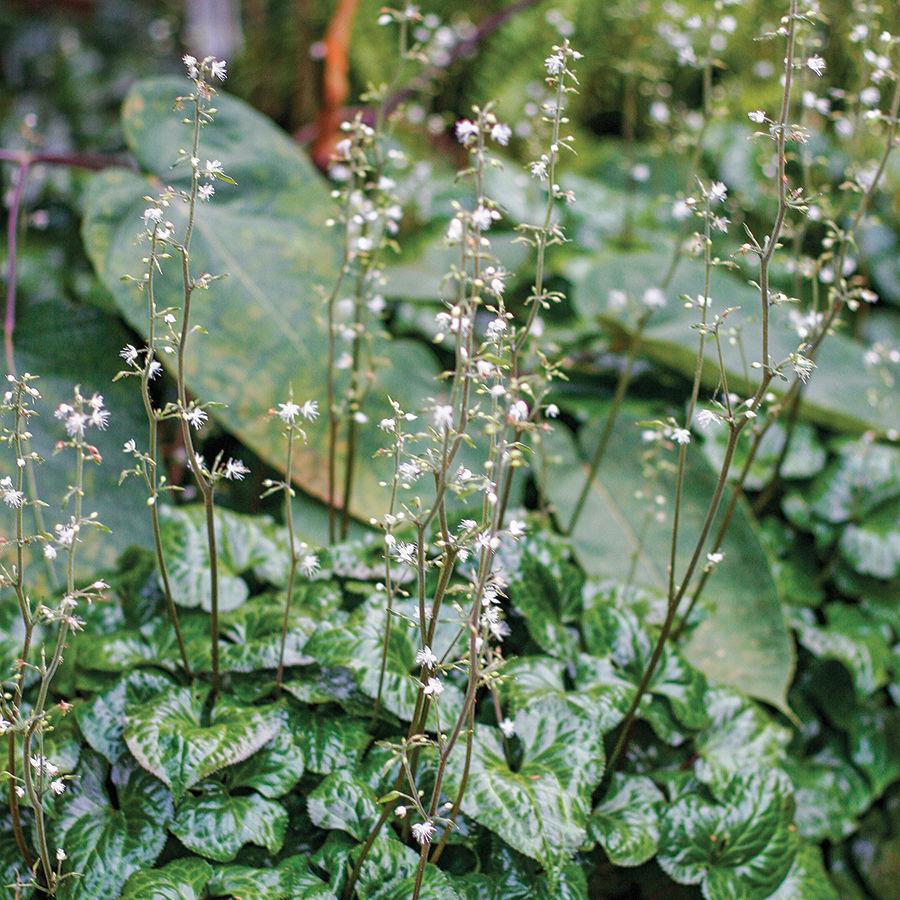 Beesia (Beesia deltophylla)