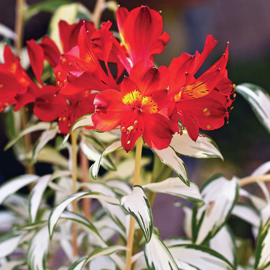 Rock 'n' Roll® Peruvian lily (Alstroemeria 'Alsdun01')