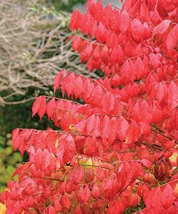 Burning bush (Euonymus alatus and cvs.)