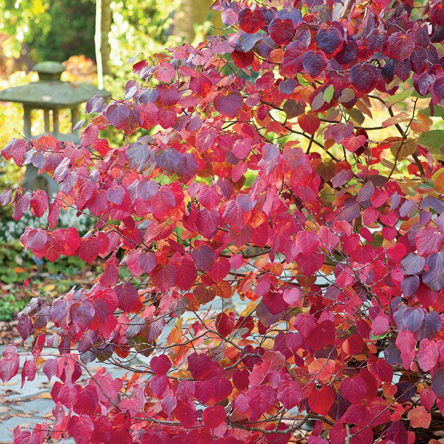Redbud hazel (Disanthus cercidifolius)