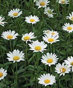 'Becky' shasta daisy (Leucanthemum × superbum 'Becky')