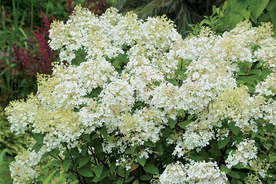 Bobo® panicle hydrangea (Hydrangea paniculata 'ILVOBO')