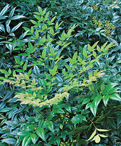 Heavenly bamboo (Nandina domestica*)
