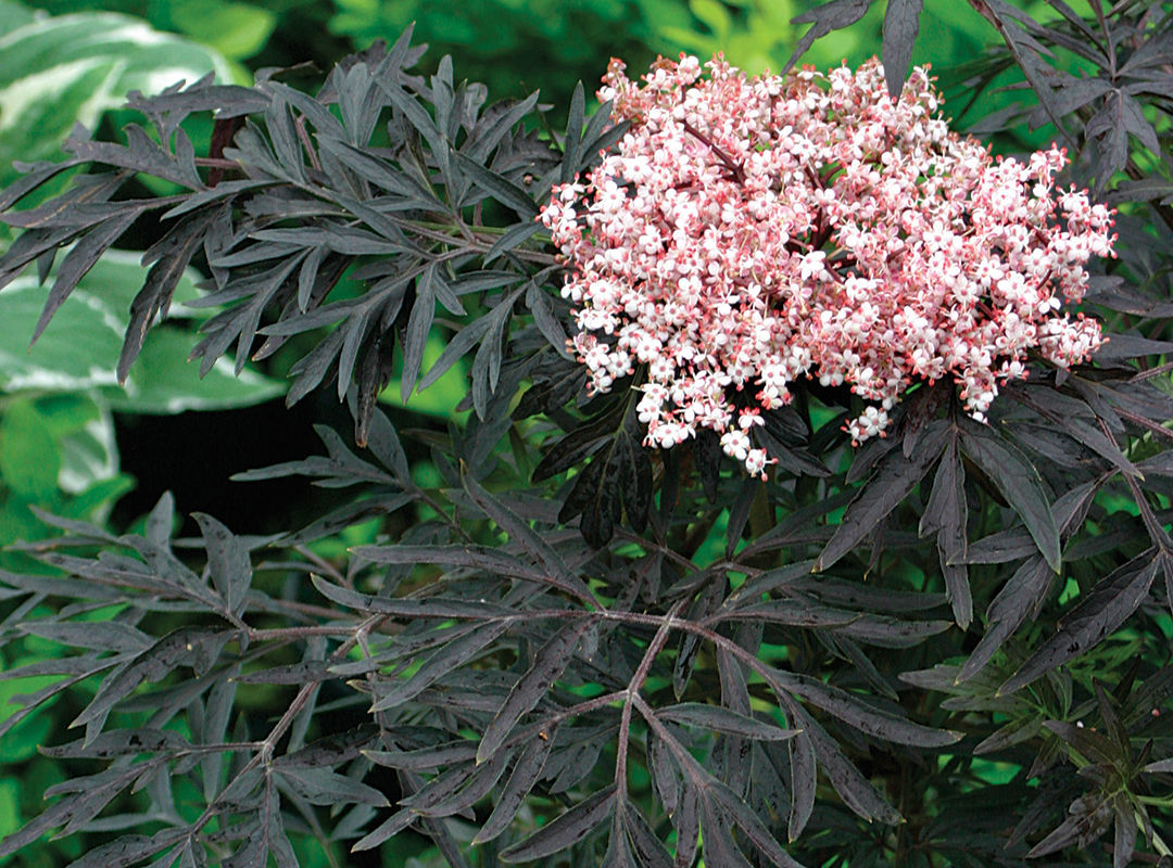 Laced Up® elderberry (Sambucus nigra 'SNR1292')