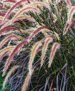 Purple fountain grass (Pennisetum setaceum* 'Rubrum')