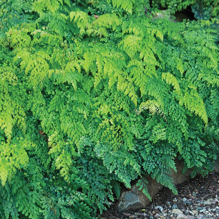 Himalayan maidenhair fern (Adiantum venustum)