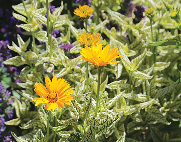 A Summer Showstopper From Every Angle   Plant Recommendation