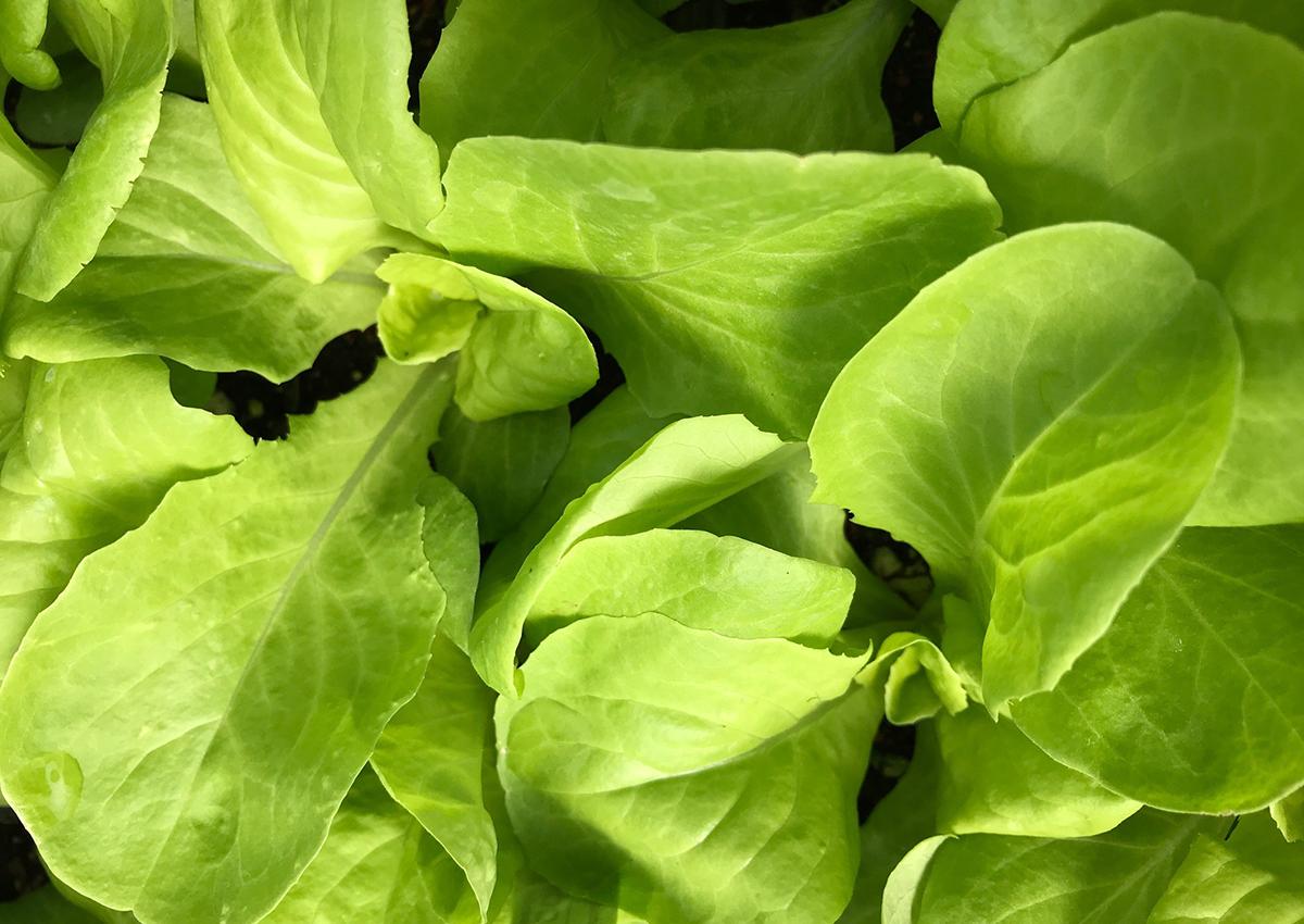 'Optima' butterhead lettuce