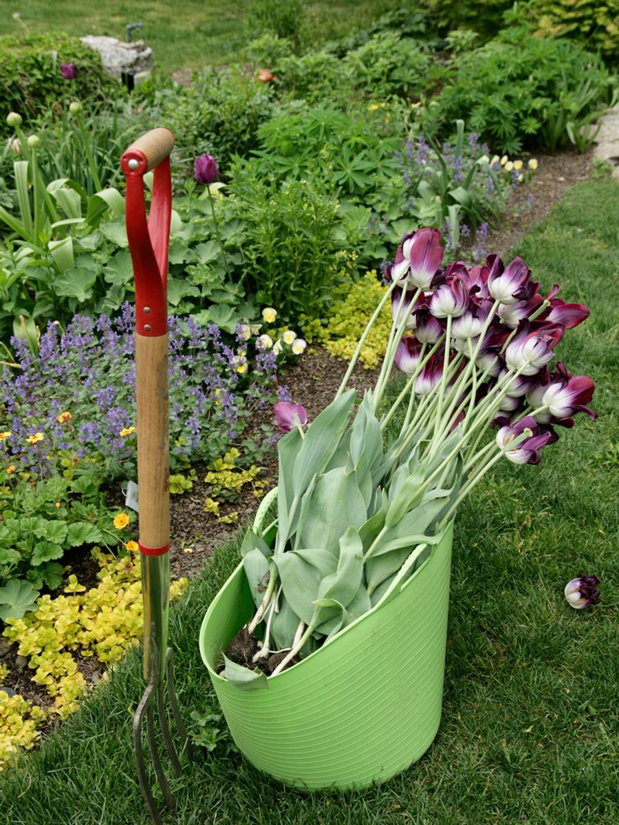 'Pittsburgh' tulips