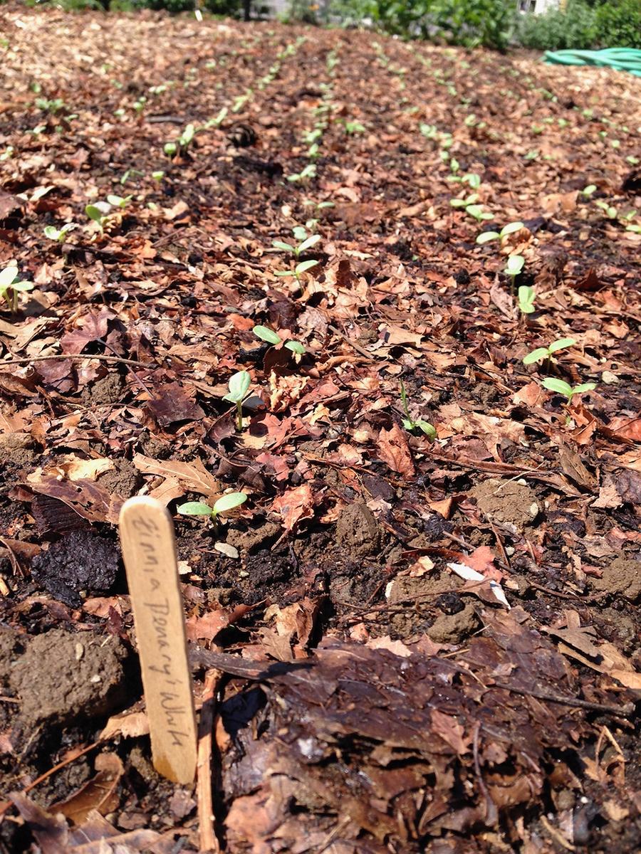Sprouting zinnias